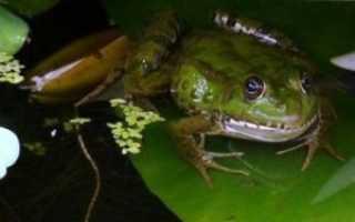Квакают ли жабы