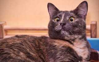 Кошки с раскосыми глазами