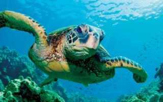 Черепаха плавает в воде