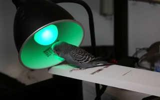При какой температуре живут волнистые попугаи