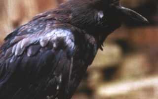 Ворона приспособление к среде обитания