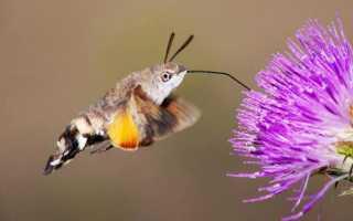 Колибри насекомое или птица