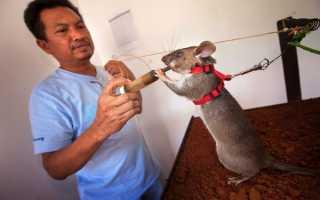 Гигантская хомяковая крыса