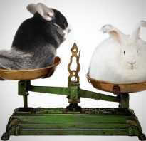 Кого лучше завести шиншиллу или кролика