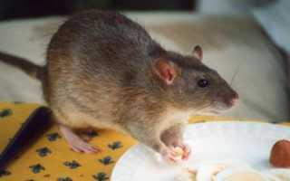 Размножение крыс в домашних условиях