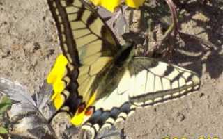 Фото бабочки махаон