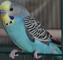 Желто зеленый волнистый попугай
