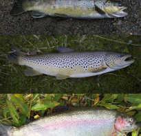 Форель семейство каких рыб