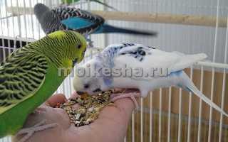 Чем питается попугай фото