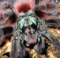 Самые красивые пауки птицееды
