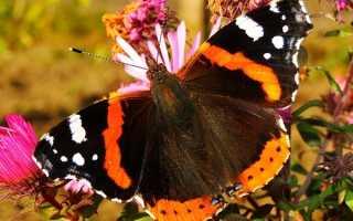 Бабочка адмирал описание для детей