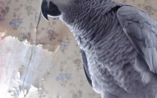 Попугай домашняя птица или нет