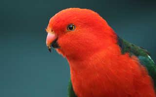 Попугай родом из австралии