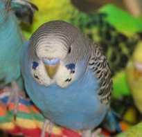 Волнистый попугай 2 месяца