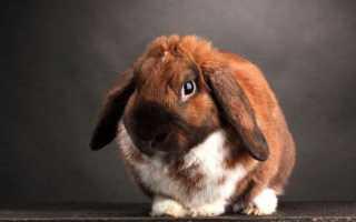 Декоративный карликовый вислоухий кролик
