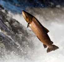 Северная промысловая рыба из лососевых