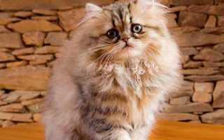 Морда кошки персидской