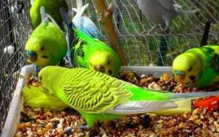 Чем кормить волнистых попугайчиков