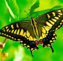 Махаон бабочка интересные факты