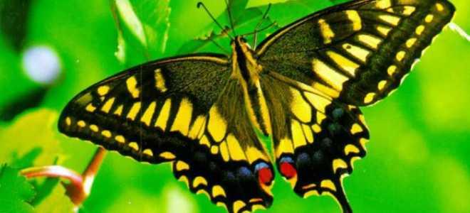 Где обитает бабочка махаон