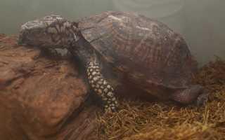 Черепаха в спячке