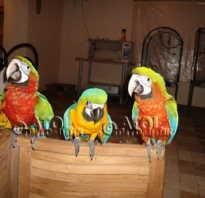 Попугай корелла купить в нижнем