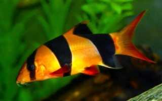 Аквариумные рыбки клоуны содержание