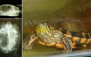 Как лечить пневмонию у черепахи красноухой