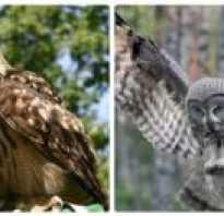 Как выглядит сова и филин