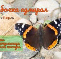 Фото бабочки адмирала