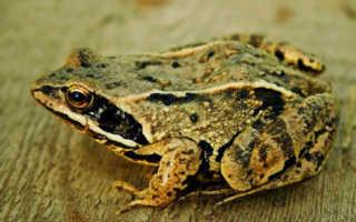 Краткое описание лягушки