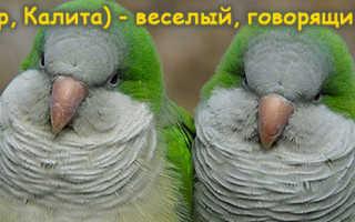 Попугай калита купить