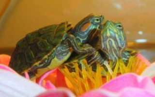 Сколько времени живет красноухая черепаха