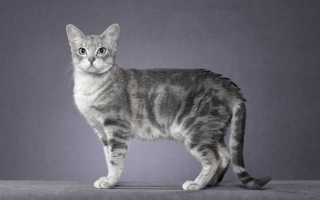 Дымчатая кошка с желтыми глазами