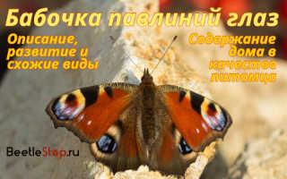 Чем питаются бабочка павлиний глаз