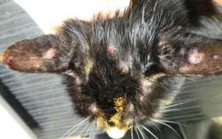 Блошиный дерматит у кота лечение