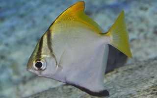 Рыба ласточка фото