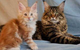 Смесь персидской и сибирской кошки