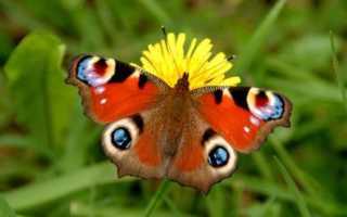 Павлиний глаз бабочка описание