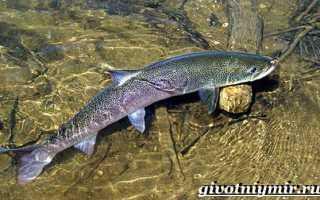 Фотографии рыбы таймень