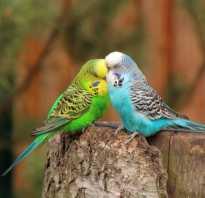 Как выглядит попугай фото
