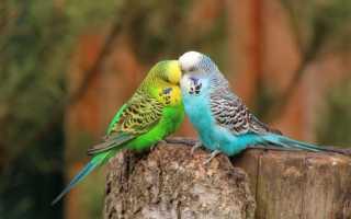 Здоровый волнистый попугай фото