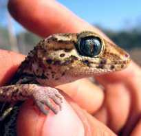 Земляной мадагаскарский геккон