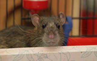 Окрасы крыс декоративных