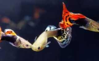 Фотографии рыбок гуппи