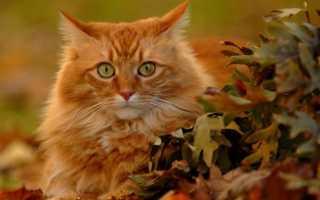 Описание рыжих котов