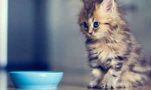 Как накормить котенка