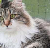Сибирский кот живут