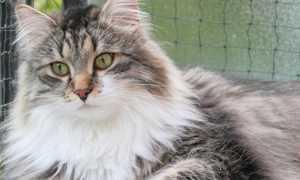 Как отличить сибирского котенка от обычного