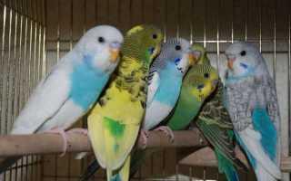 Звуки волнистого попугая что означают